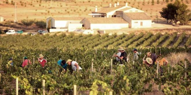 La vendimia arranca en la provincia con unas previsiones de cuarenta millones de kilos