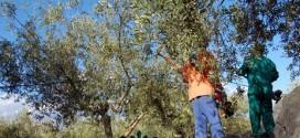 La sequía deja huella en la campaña de la aceituna