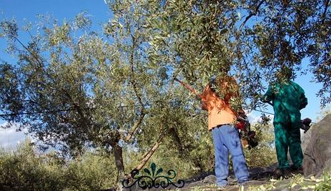 Arranca la campaña de la oliva con buenas previsiones