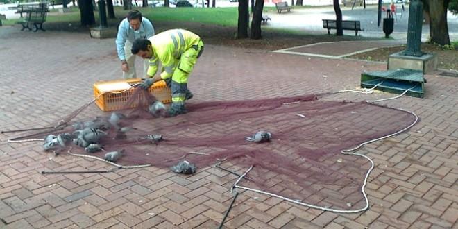 Alcoy aplicará pienso esterilizante para reducir la población de palomas