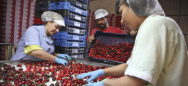 La Campaña de la Cereza arranca con una previsión de tres millones de kilos