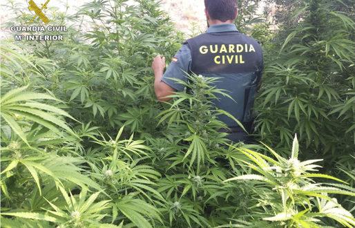 La Guardia Civil interviene 247 plantas de marihuana en Cocentaina