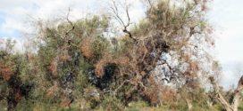 La Unió de Llauradors propone un Plan para hacer frente a los daños de la Xylella